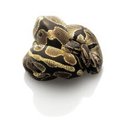 Ball Python — Stock Photo
