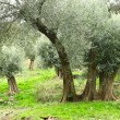 Olive trees in Crete — Stock Photo