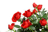 Miniature red roses — Stock Photo