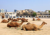 Camels in central Doha, Qatar — Stock Photo