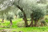 Olive trees in Crete — Stock Photo