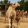 Mother camel — Foto de Stock