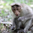 Stock Photo: Bonnet Macaque in Kerala