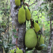 Jackfruit on a tree - Stock Photo