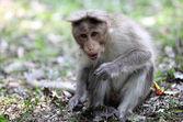 Bonnet Macaque in Kerala — Stock Photo