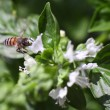 Dwarf honeybee in flight — Stock Photo #7051741