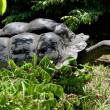 Aldabra giant tortoise - Stock Photo