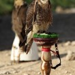 Stock Photo: Peregine falcon