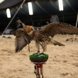 Falcon at Arab bedouin camp - Stock Photo