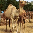 A wary camel keeps watch over her woolly calf at the livestock market - Stock Photo