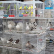 Caged birds in pet market - Stock Photo
