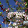 Greek apple tree in blossom - Stock Photo