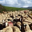 Sheep on the move — Stock Photo