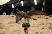 Falcon at Arab bedouin camp — 图库照片