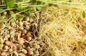 Sprouted seeds — Stock Photo