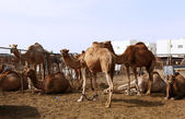 Camels in a pen in Doha — Stock Photo