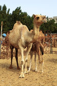 A wary camel keeps watch over her woolly calf at the livestock market — Foto de Stock