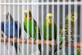 Budgies behind bars — Stock Photo