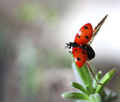 Ladybird Coccinella septempunctata taking off — Stock Photo