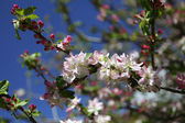 Greek apple tree in blossom — Stock Photo