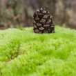 Cone on moss — Stock Photo