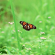 Butterfly on the field - Stock Photo