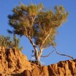 Tree, Gobi desert, Mongolia — Stock Photo #7140239