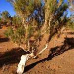 Tree, Gobi desert, Mongolia — Stock Photo #7140361