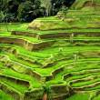 Rice fields, Bali, Indonesia — Stock Photo