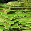 Rice fields, Bali, Indonesia - Stock Photo
