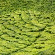 Tea plantation, Cameron Highlands, Malaysia — Foto Stock