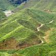 thee plantage, cameron highlands, Maleisië — Stockfoto