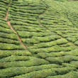 Stock Photo: Tea plantation, Cameron Highlands, Malaysia