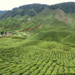 Tea plantation, Cameron Highlands, Malaysia — Stockfoto #7769553