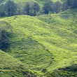 Tea plantation, Cameron Highlands, Malaysia — Stockfoto #7769674