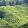 thee plantage, cameron highlands, Maleisië — Stockfoto #7769674