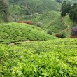 Tea plantation, Cameron Highlands, Malaysia — Stock Photo