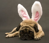 Bunny Pug Laying Down — Stock Photo