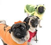 Pugs in Halloween Costumes — Stock Photo