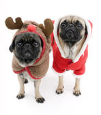 Cute Pugs Dressed up for Christmas — Fotografia Stock