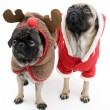 Pugs Dressed Up for Christmas — Stockfoto