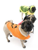 Pugs Dressed Up for Halloween — Stock Photo