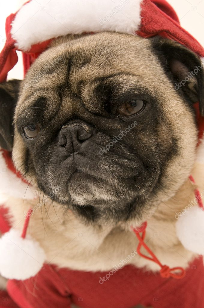 Pug Dressed up Pug Dressed up in Christmas