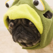 Turtle Pug — Stock Photo