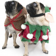 Christmas Pugs — Stock Photo