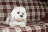 Maltese Laying on Couch — Stock Photo