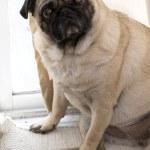 Pug Sitting Down — Stock Photo