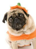 Halloween Pug — Stock Photo