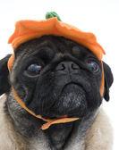Halloween Pug — Stockfoto