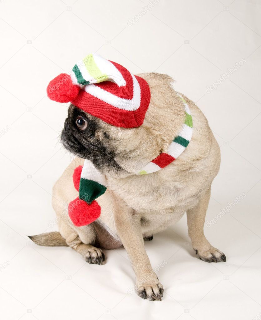 Pug Dressed up Pug Dressed up For Christmas